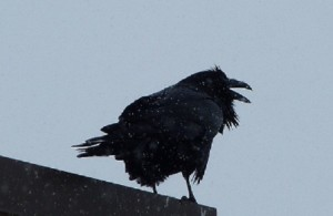 Cold Crow