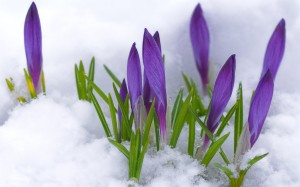 crocus-purple-flowers-in-snow