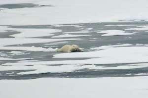 A polar bear slides across thin Actic Ocean ice Aug. 21, 2009.