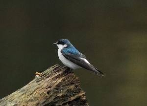 800px-Mangrove_Swallow