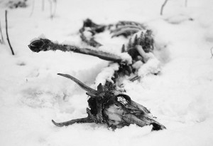 Dead-animal-in-the-snow-not-enough-grass-that-year-300x205