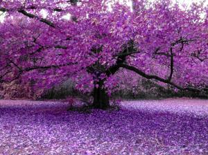 Purple_Blossom_Haze