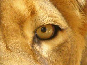 800px-Lion_(Panthera_leo)_eye_close-up