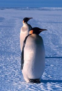 410px-Emperor_penguin
