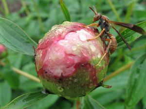 800px-Peony_with_wasp