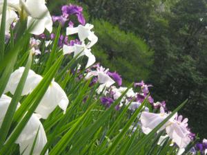 Japanese Iris by Naomi Ibuki