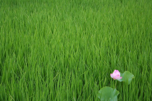 Lotus in Rice Field by Nagashima