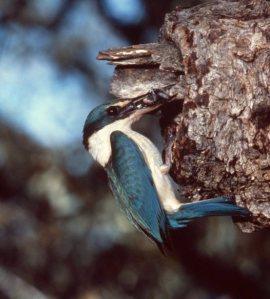 sacred kingfisher000001_big