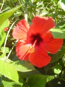 Chinese Rose(2)