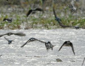 The_tree_swallows_never_stopped_flying._They_formed_a_large_vortex_over_the_water_and_approach_the_water_at_high_speeds_either_scooping_water_to_drink_or_diving_through_the_surface_of_the_water_for_a_quick_bath___Flickr_-_Photo_Sharing_