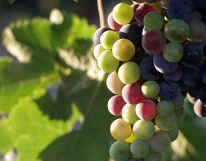 763px-Grapes_during_pigmentation_2