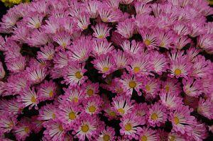 800px-Chrysanthemum_'Dance'