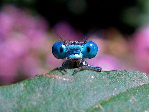 800px-Timitalia_-_dragonfly_(by)