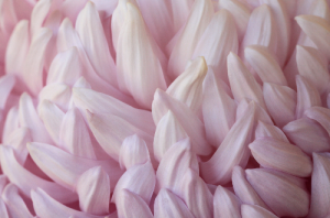 Chrysanthemum___菊_きく__on_Fotopedia