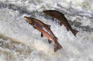 Jumping Salmon by Walter Baxter