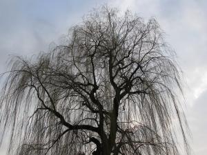 Winter Willow By Jarosław Pocztarski
