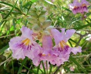Chilopsis_linearis_flower_2