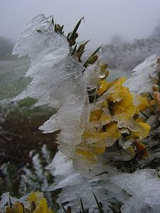 Gorse_and_frost,_Watlington_Hill_-_geograph.org.uk_-_298737